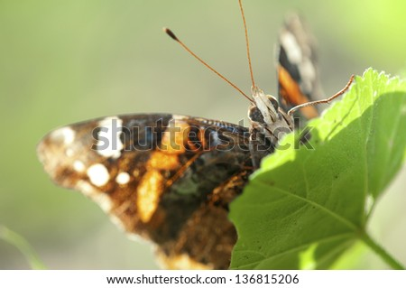 underneath / beneath / under -  a butterfly - a super close-up of an orange-fire black butterfly, standing on a green leaf.(Vanessa atalanta)