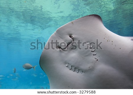 Underside of Black Stingray (Dasyatis thetidis), showing mouth and gill slits. - stock photo
