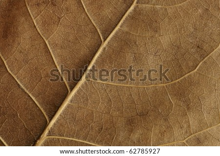 Underside of dry, brown close-up birch leaf highlighting texture - stock photo