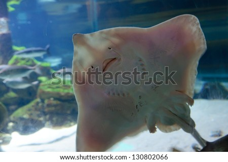 Underside of Stingray, showing mouth and gill slits. Fish with a human like facial expression, happy face. Pelagic fish - stock photo
