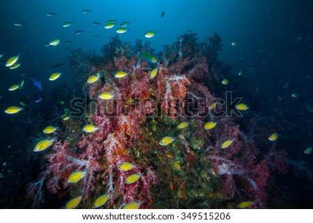 Underwater Blue Sea and a group of yellow fish swim near soft coral