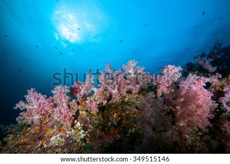 Underwater Blue Sea and purple soft coral again sunlight  - stock photo
