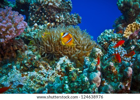 underwater coral garden full of colorful fishes with anemone and a family of yellow clownfish - stock photo