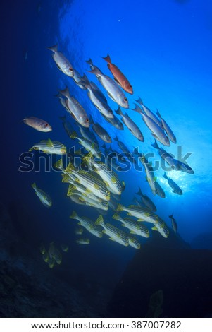 Underwater coral reef fish: Oriental Sweetlips and Bigeyes