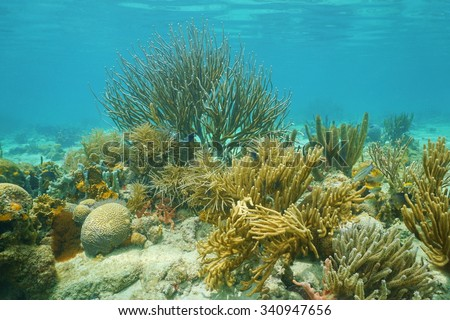 Underwater corals, mostly Octocorals, in shallow water of the Caribbean sea - stock photo