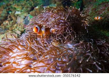 Underwater deep blue sea and anemone fish - stock photo