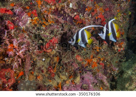 Underwater deep blue sea and moon angle fishes  - stock photo