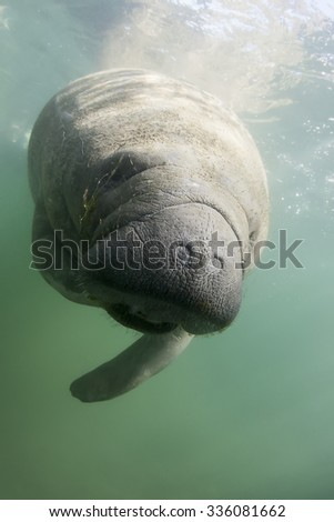 Underwater Florida Manatee - stock photo