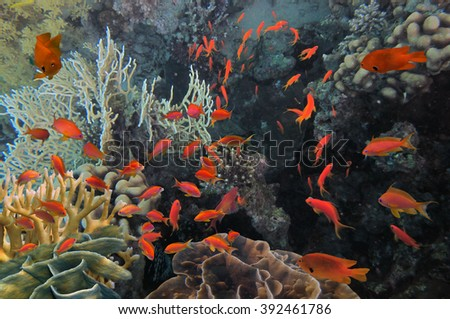 underwater image of coral reef and tropical fishes. Red Sea, Egypt                           - stock photo