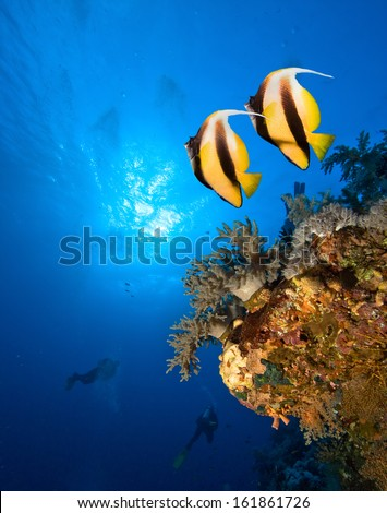 Underwater image of coral reef with Masked Butterfly Fish and divers - stock photo