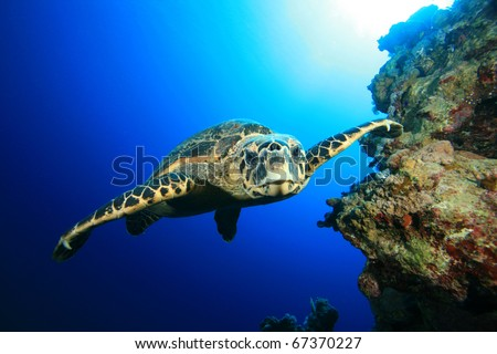 Underwater Image of Hawksbill Sea Turtle swimming towards the camera - stock photo
