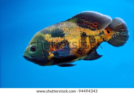 underwater image of tropical fish - stock photo