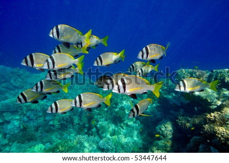 underwater image of tropical fishes (double bar bream - acanthopagrus bifasciatus) - stock photo
