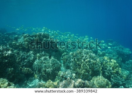 Underwater landscape, coral reef with a school of fish, convict tang, Pacific ocean, French Polynesia - stock photo