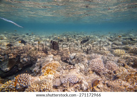 Underwater landscape. Red sea coral reef and fish. Primiraly scarus fishes - stock photo