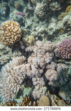 Underwater landscape. Red sea coral reef. Soft corals - Heteroxenia - stock photo