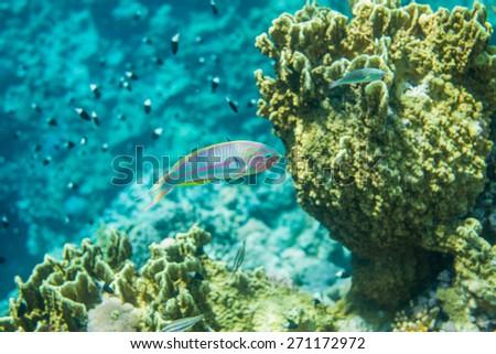 Underwater landscape. Red sea coral reef. Thalasoma klunzingeri portrait. Chromis dimidiata on the background - stock photo