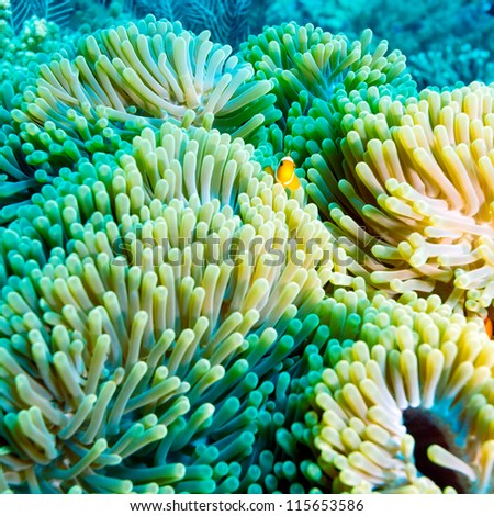 Underwater Landscape with  Anemone Fish near Tropical Coral Reef, Bali, Indonesia - stock photo