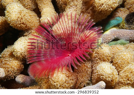 Underwater life, a split-crown feather duster worm, Anamobaea oerstedi, surrounded by finger coral on the seabed of the Caribbean sea - stock photo