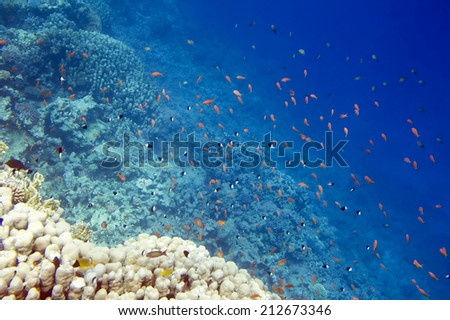 Underwater life of Red sea in Egypt. Saltwater fishes and coral reef. Blue water - stock photo