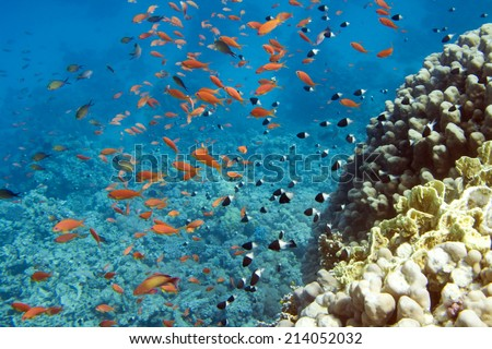 Underwater life of Red sea in Egypt. Saltwater fishes and coral reef. Fish school
