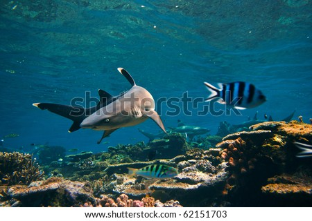 Underwater life. Photo with whitetip reef shark and little striped fish made in open water of Pacific ocean close a wild coral reef. - stock photo