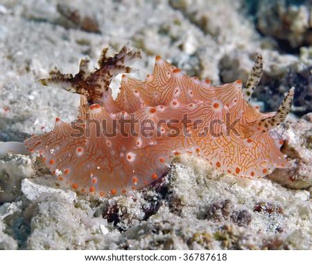 Underwater macro image of nudibranch, Halgerda malesso, taken in Lembeh, Indonesia. - stock photo