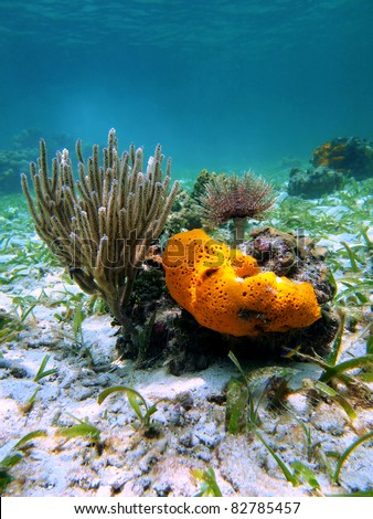 Underwater marine life with orange sea sponge, sea rod coral and feather duster worm in the Caribbean sea, Costa Rica