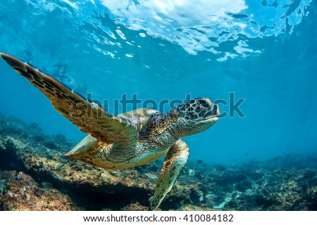 Underwater marine wildlife postcard. A turtle sitting at corals under water surface. Closeup image from Maui island in Hawaii - stock photo