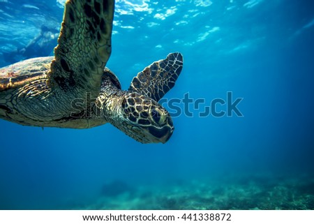 Underwater marine wildlife postcard. A turtle sitting at corals under water surface. Closeup image from Oahu island in Hawaii - stock photo