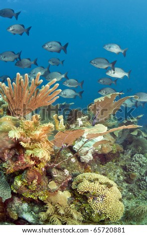 Underwater off the coast of Roatan Honduras, Coral gardens - stock photo