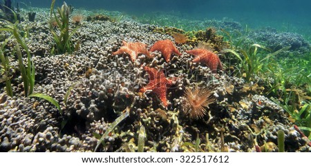 Underwater panorama of a shallow coral reef with starfish and colonies of branched finger coral, Caribbean sea - stock photo