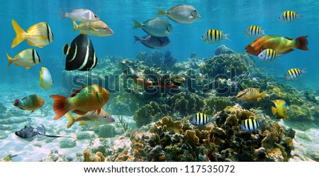 Underwater panorama on a shallow coral reef with shoal of colorful tropical fishes, Caribbean sea