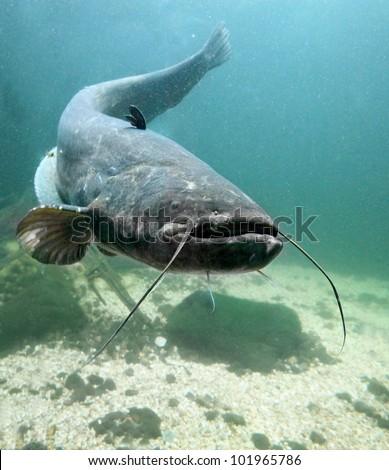 Underwater photo big Catfish (Silurus Glanis). Trophy fish in Hracholusky Lake - Czech Republic, Europe. - stock photo