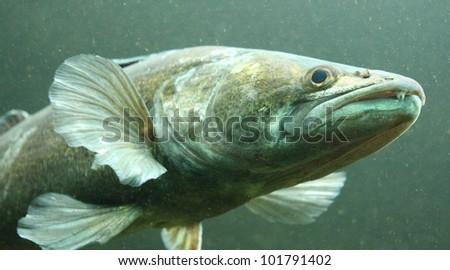 Underwater photo big Zander or Pike-perch (Sander lucioperca). Trophy fish in Hracholusky Lake - Czech Republic, Europe. - stock photo