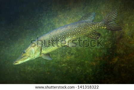 Underwater photo of a big Northern Pike (Esox Lucius). - stock photo