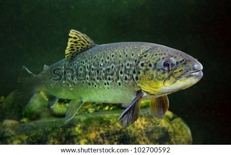 Underwater photo of The Brown Trout (Salmo Trutta) in a mountain lake. Close up with shallow DOF. - stock photo