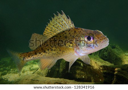 Underwater photo of The Eurasian Ruffe (Gymnocephalus cernuus) predatory fish. - stock photo