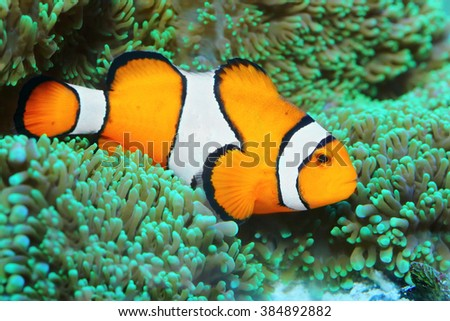 Underwater photo of tropical reef fish - Clownfish (Amphiprion ocellaris). Macro with shallow DOF. - stock photo