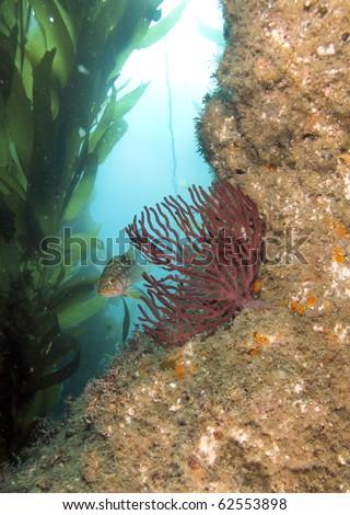 underwater scene with fish, kelp and coral Anacapa Island, California - stock photo