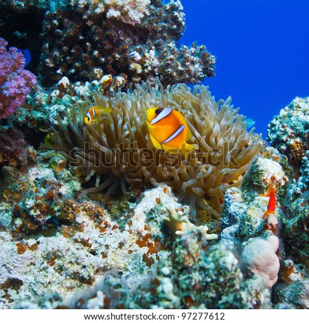underwater scenery coral garden with anemone and a family of yellow clownfish - stock photo