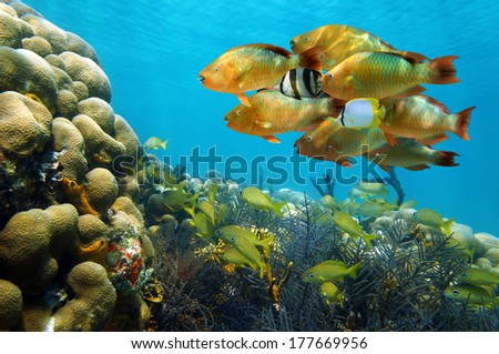 Underwater scenery in the Caribbean sea with a shoal of colorful tropical fish in a coral reef, Bocas del Toro, Panama