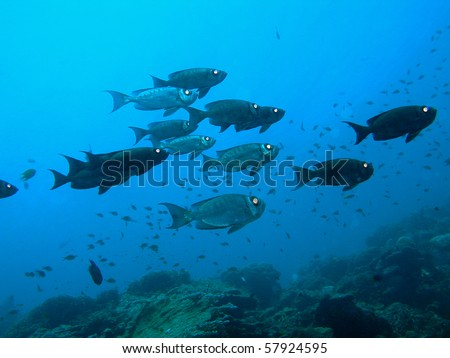 underwater, school of bigeye fish - stock photo