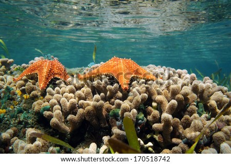 Underwater sea star over coral with water surface in background, Caribbean sea, Panama - stock photo