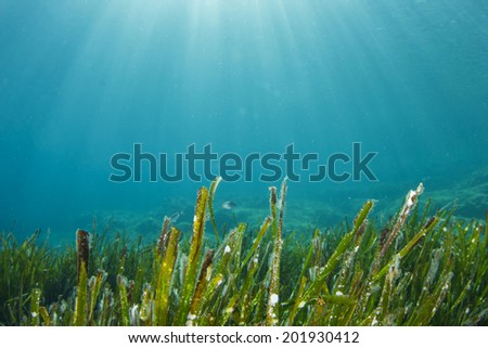 Underwater Seaweed - stock photo