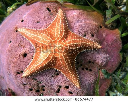 Underwater starfish, Oreaster reticulatus, over massive starlet coral in the Caribbean sea - stock photo