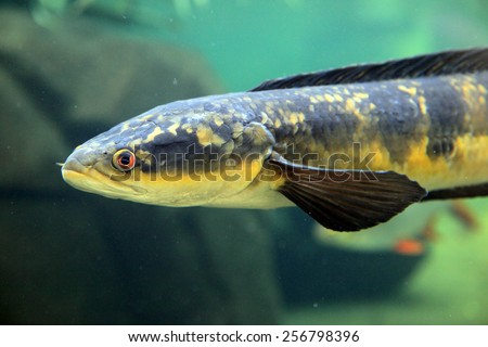 Underwater view of a snakehead fish (channa marulius)