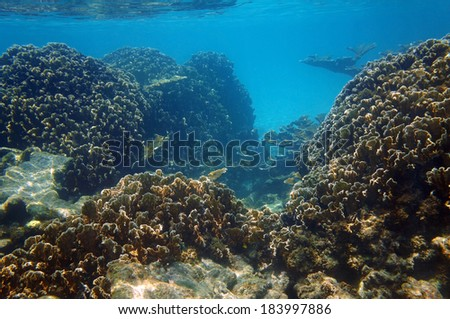 Underwater view of an healthy coral reef in the Caribbean sea with blade fire coral colonies and some elkhorn coral, Yucatan, Mexico - stock photo