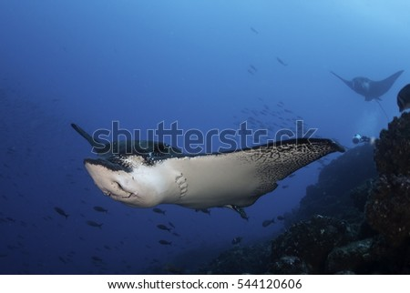 Underwater view of spotted eagle ray swimming in blue water at Darwin Island, Galapagos Islands, Ecuador