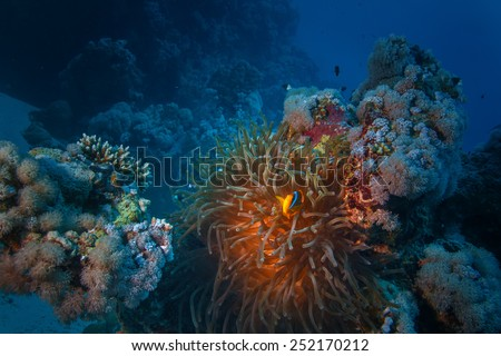 Underwater world discovered. Red sea yellow clownfish living in anemone between corals. Dark blue ocean background - stock photo